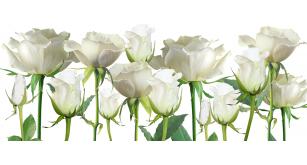 Фотоoбои Цветы 6